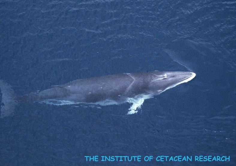 クロミンククジラ copyright The institute of cetacean reserch