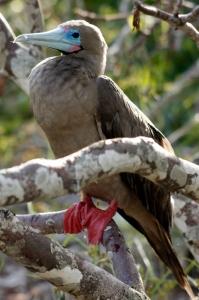 アカアシカツオドリが間近で見られる数少ないサイト