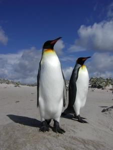 sKing penguins