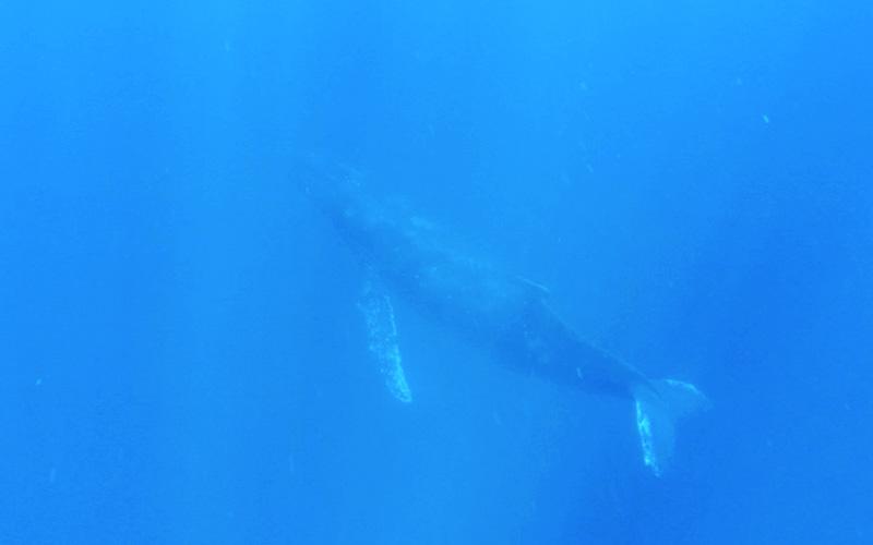 ザトウクジラちゃん